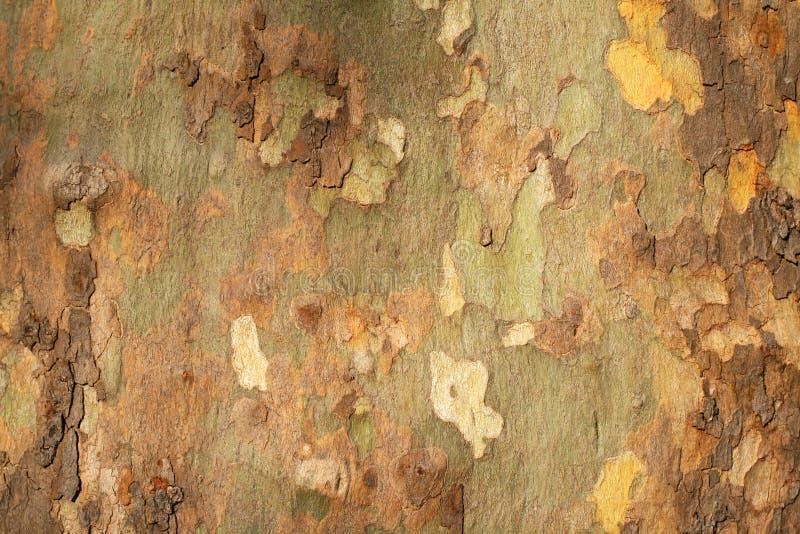 Textura de la corteza de árbol de Platan fotografía de archivo