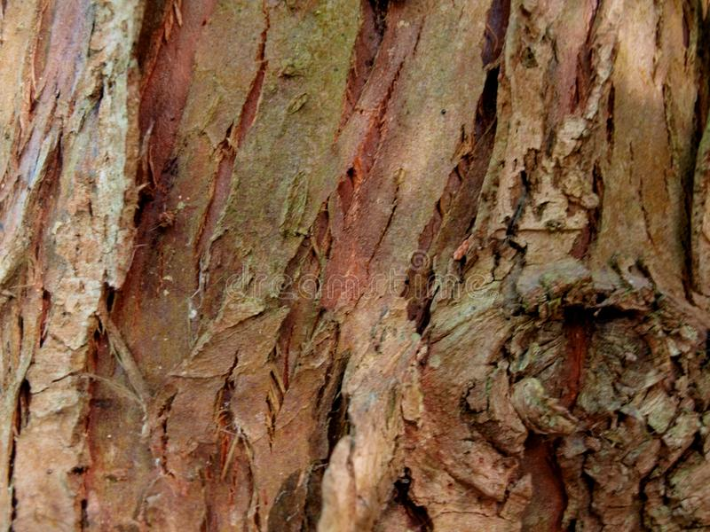 Textura de la corteza vieja del árbol del thuja fotos de archivo