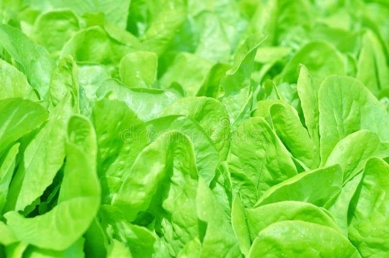 Textura de la ensalada Lechuga verde que crece en huerto imagen de archivo