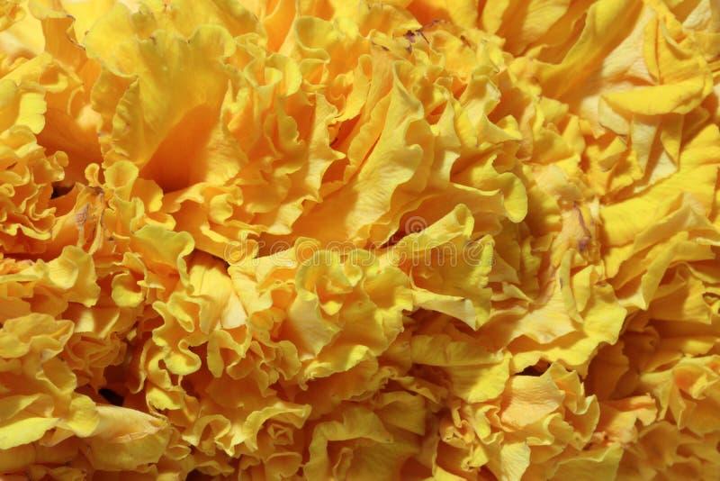Textura de la flor del pétalo de la maravilla de la guirnalda, una planta de la familia de la margarita, típicamente con las flor imagen de archivo libre de regalías