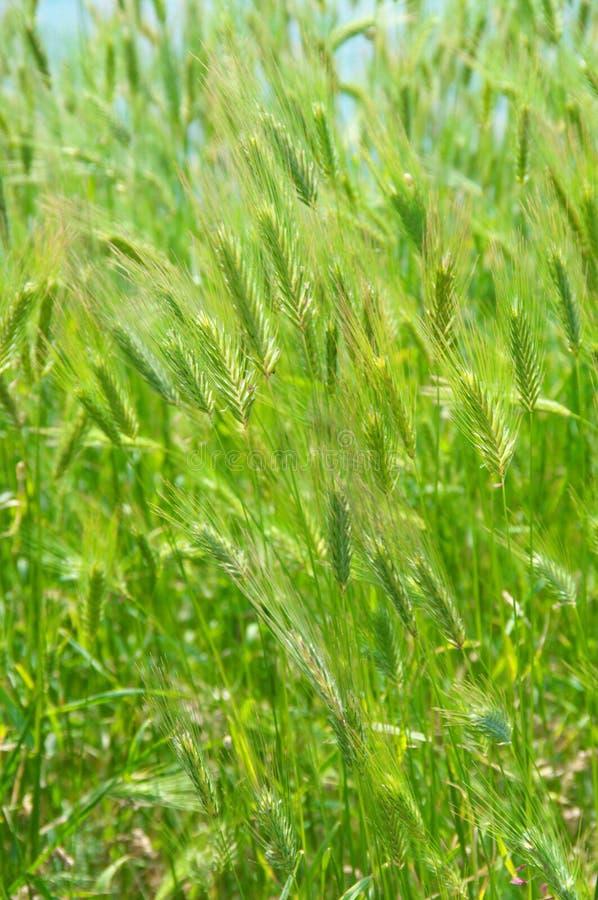 Textura de la hierba verde fotos de archivo libres de regalías