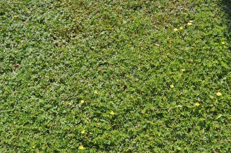 Textura de la hierba verde de diversas longitudes foto de archivo libre de regalías