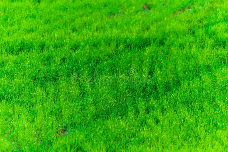 Textura de la hierba verde de un campo foto de archivo libre de regalías