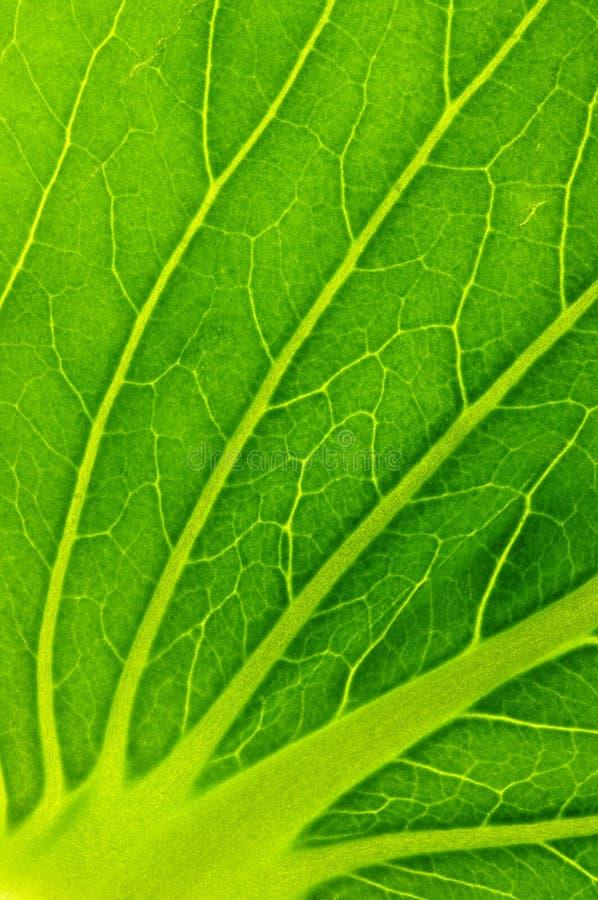 Textura de la hoja de la ensalada verde fotos de archivo