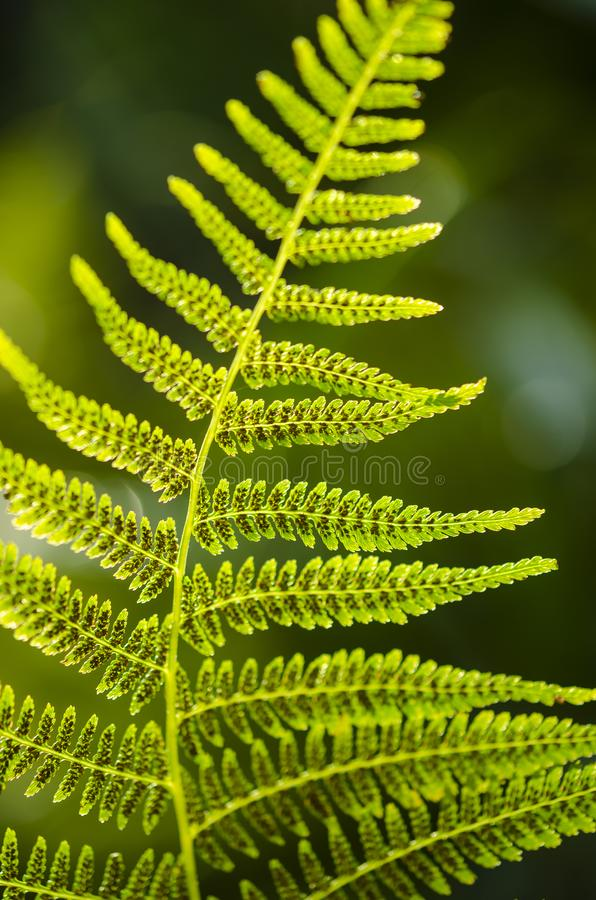 Textura de la hoja del helecho en luz del sol El verde deja el fondo abstracto de la naturaleza Primer fotos de archivo libres de regalías