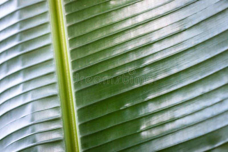 Textura de la hoja del plátano fotografía de archivo