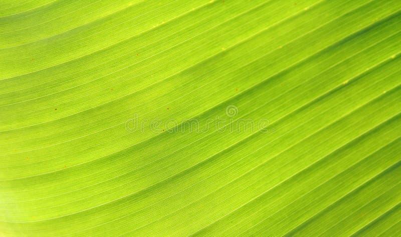 Textura de la hoja del plátano imágenes de archivo libres de regalías