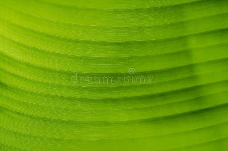 Download Textura De La Hoja Del Plátano Imagen de archivo - Imagen de orgánico, crecimiento: 64203541