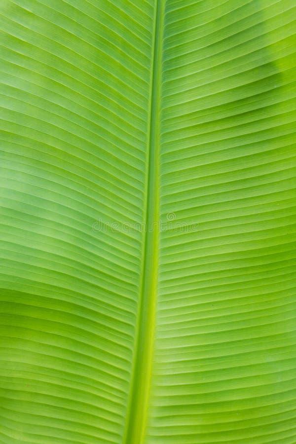 Textura de la hoja del plátano fotos de archivo libres de regalías