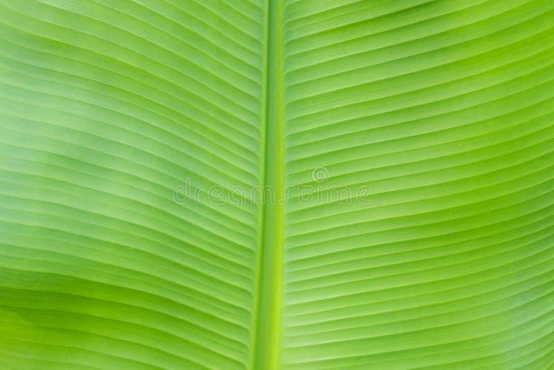 Textura de la hoja del plátano imagen de archivo