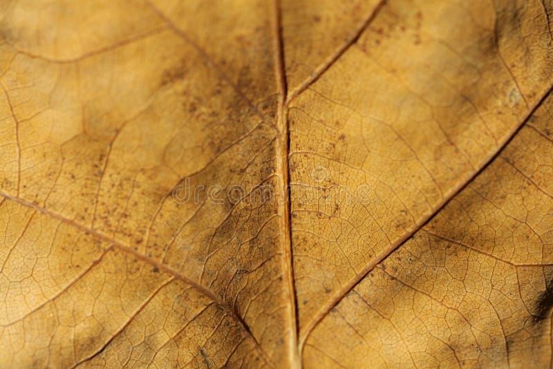 Textura de la hoja del roble marrón foto de archivo