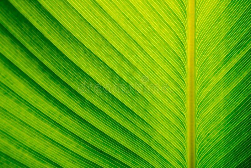 Textura de la hoja de la planta del cigarro, fondo verde imágenes de archivo libres de regalías