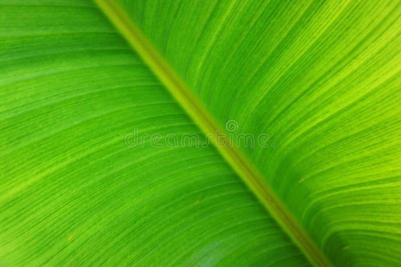 textura de la hoja de la planta de plátano foto de archivo libre de regalías