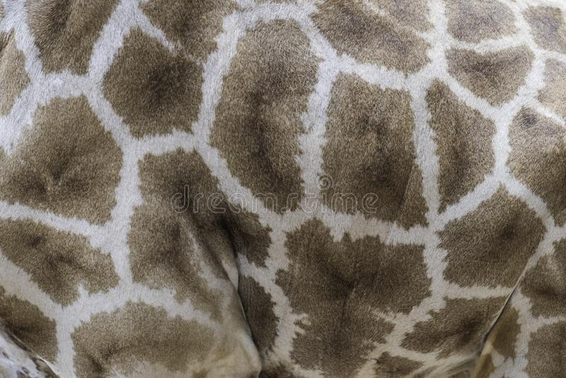 Textura de la jirafa de la piel imagenes de archivo