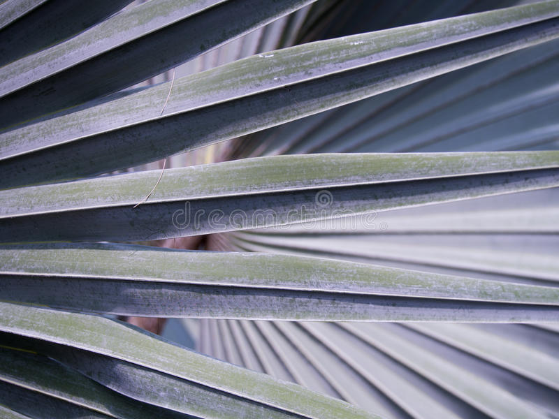 Textura de la palma de Bismarck imagenes de archivo