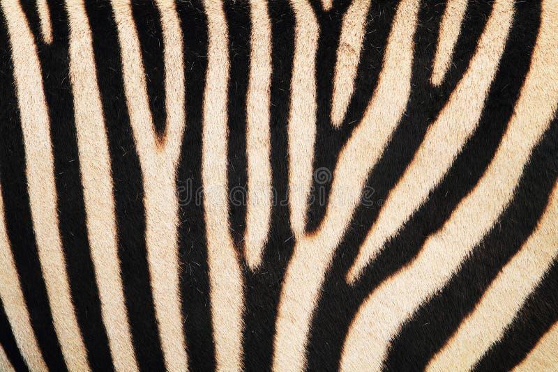 textura de la piel animal de la cebra imágenes de archivo libres de regalías