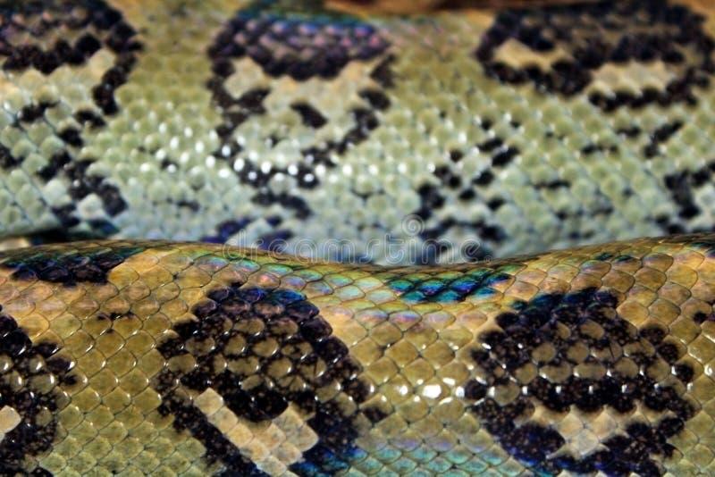 Textura de la piel de la boa del árbol de Madagascar imagen de archivo libre de regalías