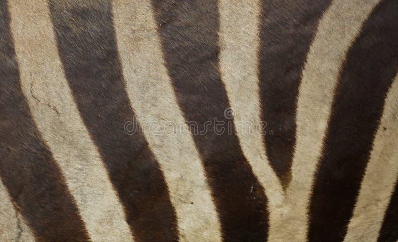 Textura de la piel de la cebra fotografía de archivo libre de regalías