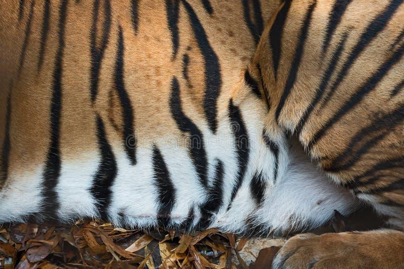 Textura de la piel del tigre foto de archivo libre de regalías