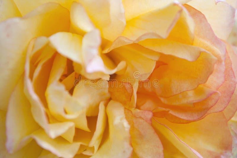 Textura de la rosa del amarillo foto de archivo libre de regalías