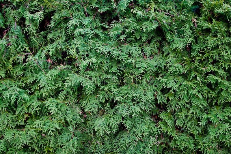 Textura de las agujas del árbol de abeto fotografía de archivo