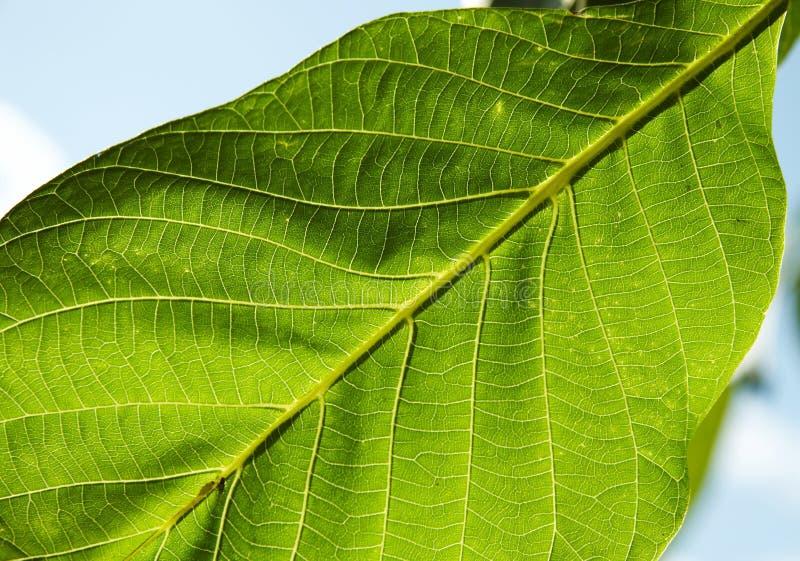 Textura de las hojas del verde fotos de archivo libres de regalías