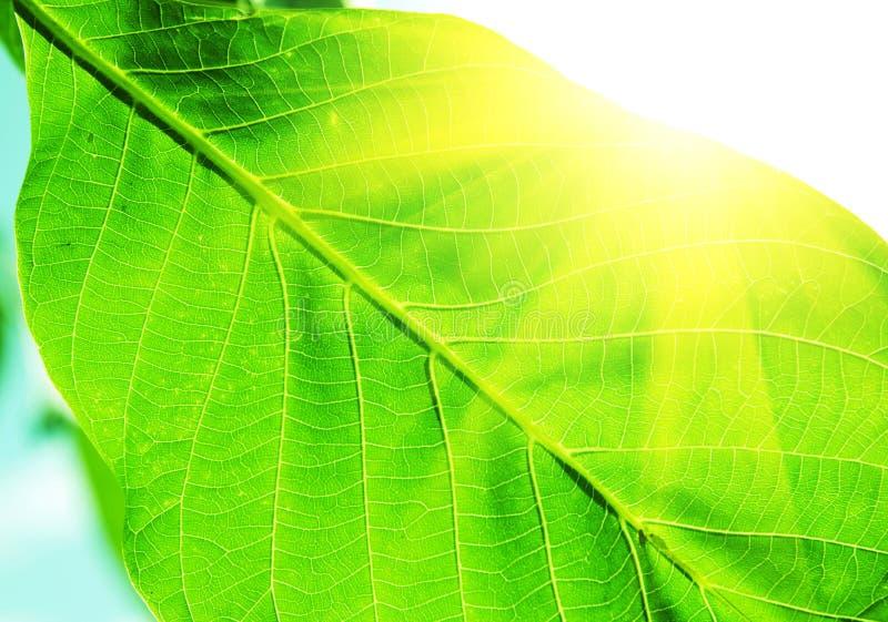 Textura de las hojas del verde imagen de archivo libre de regalías