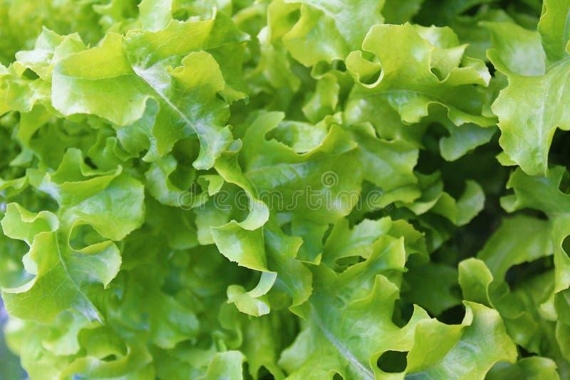 Textura de las hojas jugosas verdes de la lechuga separadas hacia fuera foto de archivo