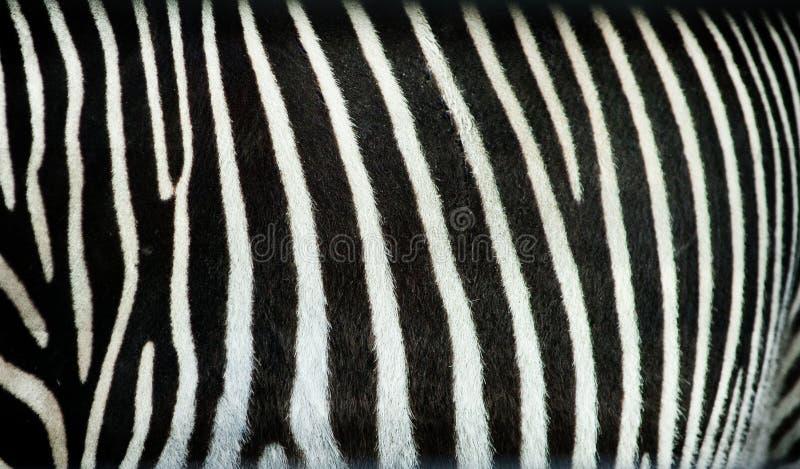 Textura de las rayas de la cebra foto de archivo libre de regalías