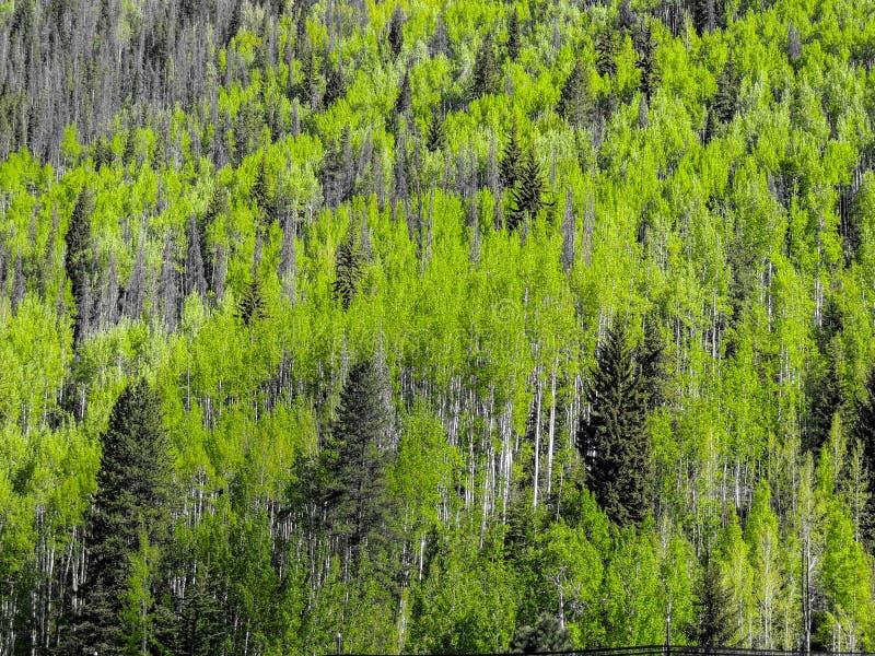 Textura de los árboles del álamo temblón y de pino imagen de archivo