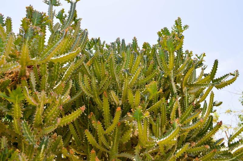 Textura de los cactus frescos agudos espinosos mexicanos altos grandes del verde largo con las espinas contra el cielo azul Los a fotografía de archivo libre de regalías