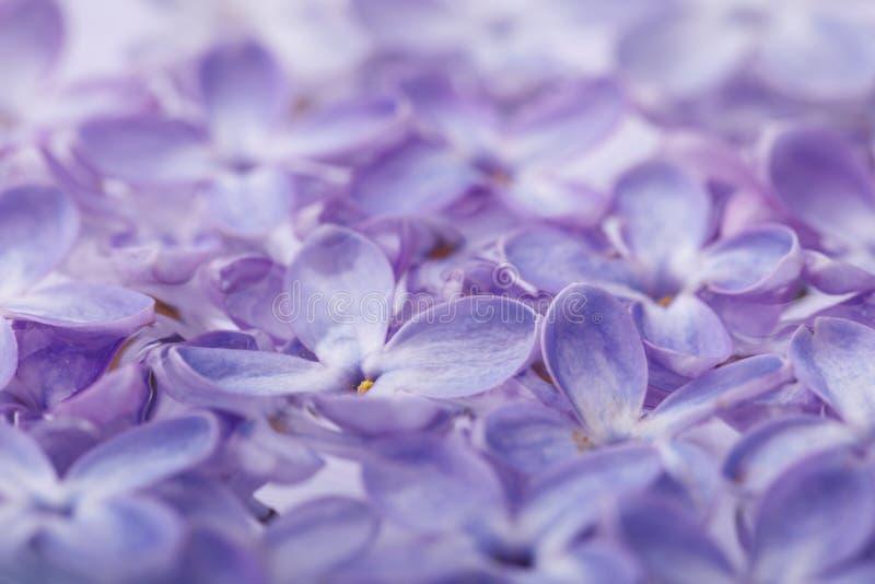 Textura de los pétalos de la lila Fondo de las flores del resorte foto de archivo