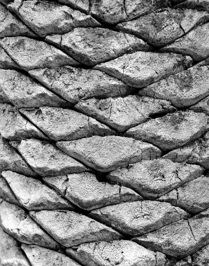 Textura de madeira do teste padrão em uma palmeira fotografia de stock