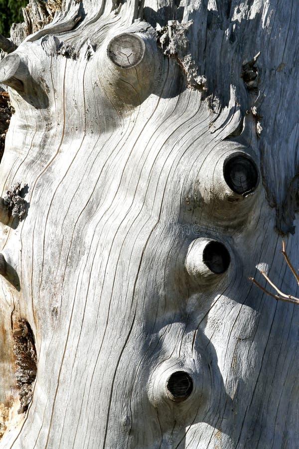 Textura de madeira Gnarly fotografia de stock royalty free