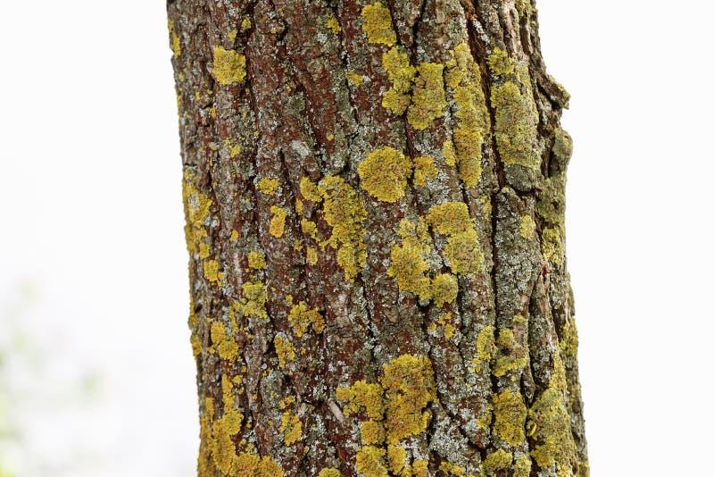Textura de madeira natural Casca de uma ?rvore fotografia de stock