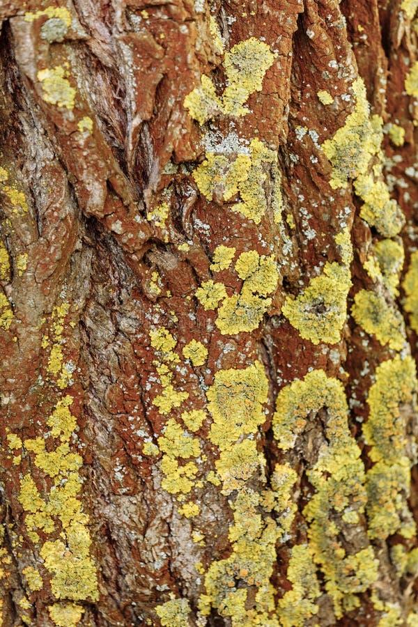 Textura de madeira natural Casca de uma ?rvore fotos de stock