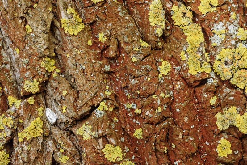 Textura de madeira natural Casca de uma ?rvore imagem de stock royalty free