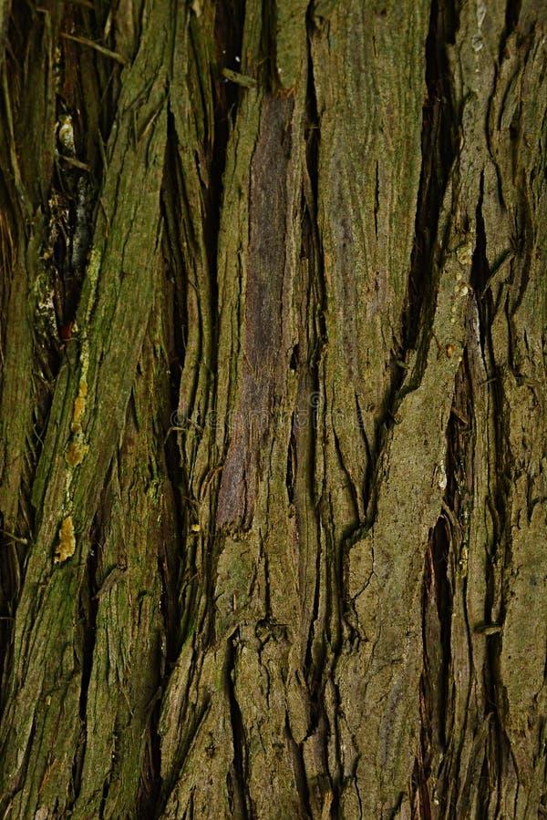 Textura de madera de la corteza del Thuja redcedar pacífico Plicata del árbol imperecedero imagen de archivo