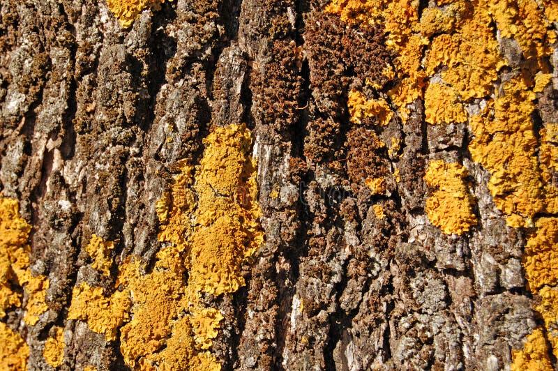 Textura de madera del tronco del olivo imágenes de archivo libres de regalías