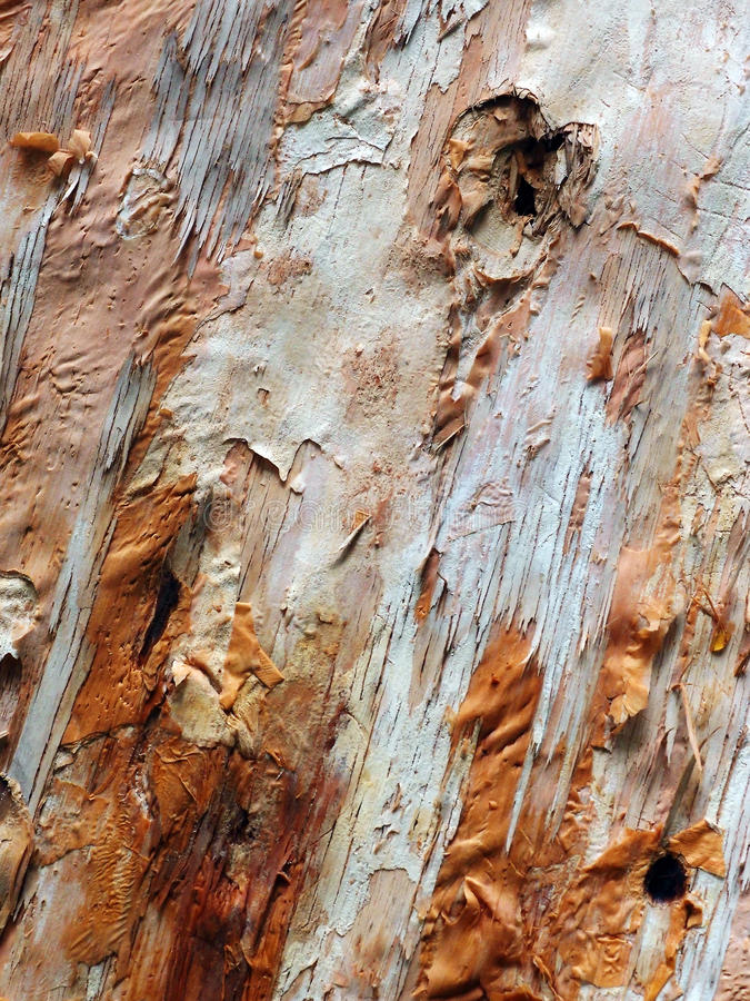 Textura de papel da árvore de casca, Melaluca fotografia de stock