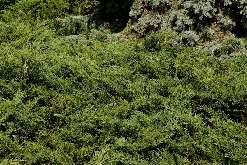 A textura de ramos coníferos verdes pequenos comeu no parque imagem de stock royalty free
