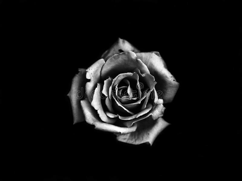 Textura de Rose foto de archivo libre de regalías