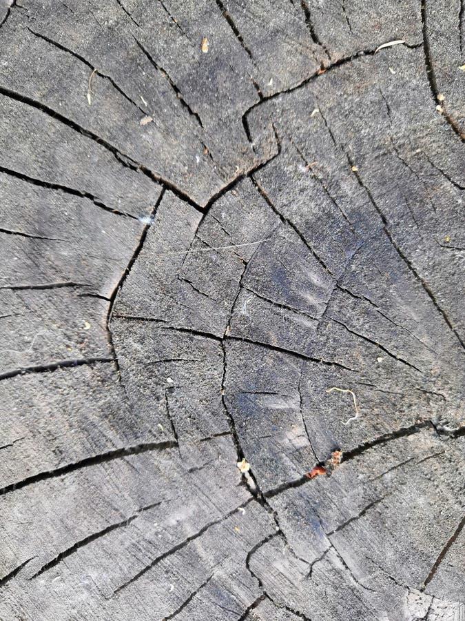 A textura de superfície do coto do olmo foto de stock
