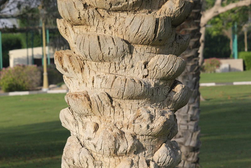 Textura de uma casca de palmeira Teste padrão natural fotos de stock royalty free