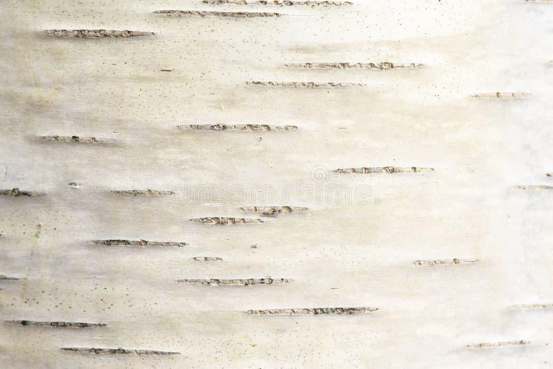 Textura de uma casca de vidoeiro de uma ?rvore nova Macro wallpaper fotos de stock royalty free