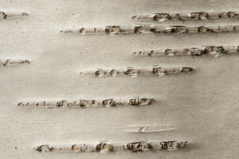 Textura de uma casca de vidoeiro de uma ?rvore nova Macro wallpaper foto de stock