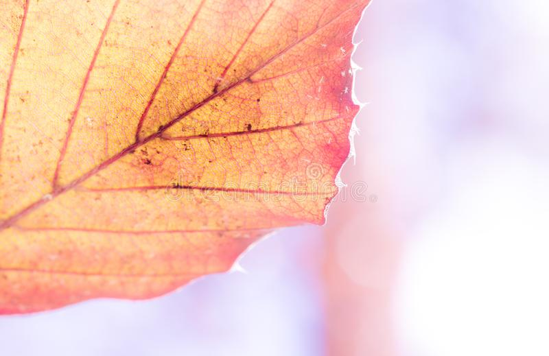 A textura de uma folha verde de um petrea da planta, detalhada, close-up, macro super, borrou fotos de stock