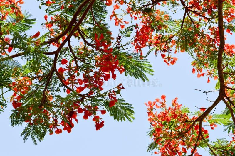 Textura de un árbol hermoso de la planta del Delonix con las flores inusuales rojas con los pétalos y las hojas verdes frescas en fotografía de archivo