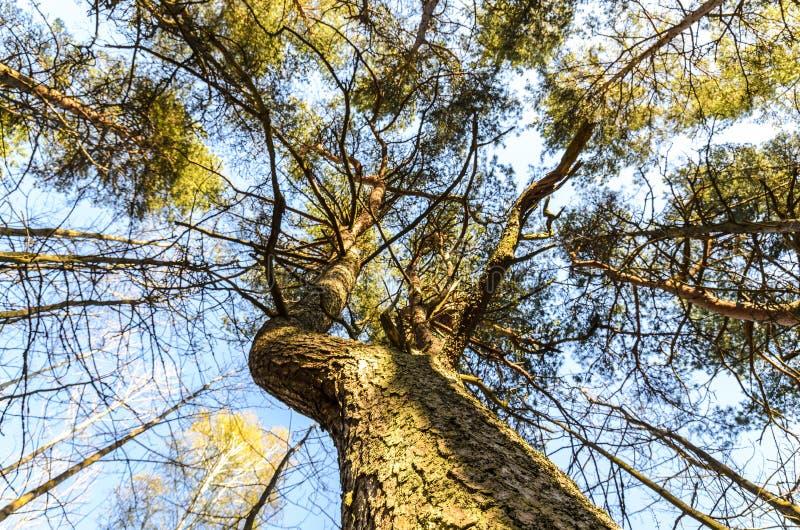 Textura de un árbol perenne, de un pino majestuoso y de su corona hermosa, visión inferior fotografía de archivo