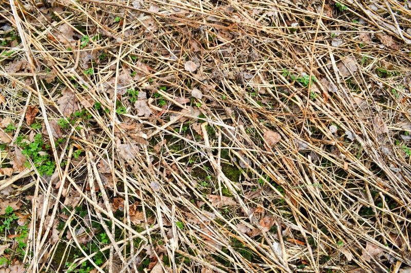 A textura de varas velhas podres velhas, ramos, palhas connosco e seca as folhas com quebras e os nós cobertos com o musgo imagem de stock